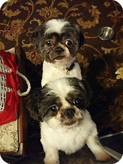 Shih Tzu Dog for adoption in Brick, New Jersey - Ike