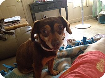 Chihuahua/Dachshund Mix Dog for adoption in Concord, California - Minnie
