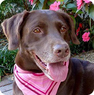 Labrador Retriever Mix Dog for adoption in Baton Rouge, Louisiana - Mocha