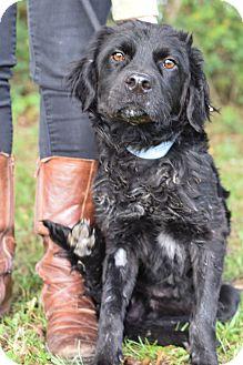 Flat-Coated Retriever/Cocker Spaniel Mix Dog for adoption in Glastonbury, Connecticut - Remington