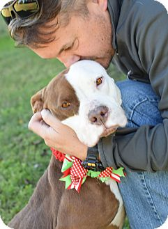 Pit Bull Terrier Mix Dog for adoption in Glastonbury, Connecticut - Dove