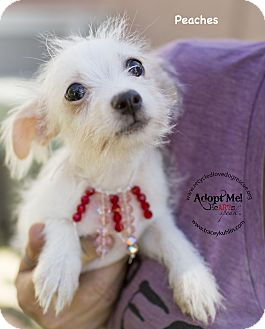 Maltese/Fox Terrier (Smooth) Mix Dog for adoption in Inland Empire, California - PEACHES