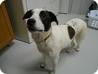 Jack Russell Terrier/Terrier (Unknown Type, Medium) Mix Dog for adoption in Hartford, Kentucky - Saylor