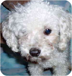 Poodle (Toy or Tea Cup) Dog for adoption in Melbourne, Florida - BEEMER