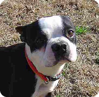Boston Terrier Dog for adoption in Texarkana, Texas - L Bob ADOPTED CT