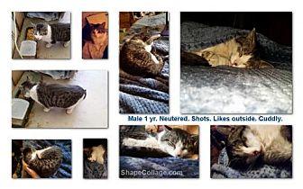 Domestic Shorthair Cat for adoption in Corona, California - Ryker