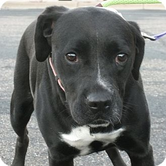 Boxer/Labrador Retriever Mix Dog for adoption in Minneapolis, Minnesota - Louise