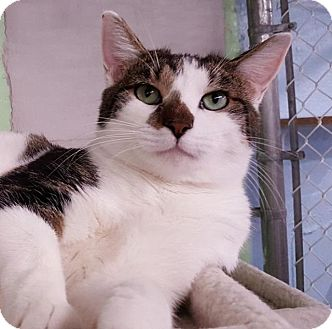 Domestic Shorthair Cat for adoption in Freeport, New York - Mikey
