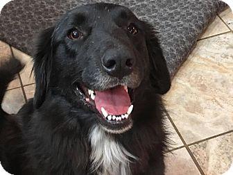 Border Collie/Labrador Retriever Mix Dog for adoption in Wichita Falls, Texas - Starla
