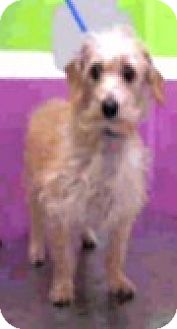 Poodle (Miniature)/Dachshund Mix Dog for adoption in Boulder, Colorado - Sophie-Adoption Pending