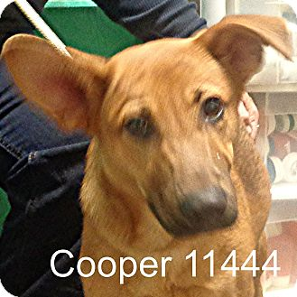 German Shepherd Dog Mix Puppy for adoption in Manassas, Virginia - Cooper