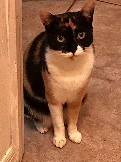 Calico Cat for adoption in Satellite Beach, Florida - Lexi