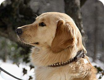 Golden Retriever Dog for adoption in Westport, Connecticut - *Oakley - PENDING