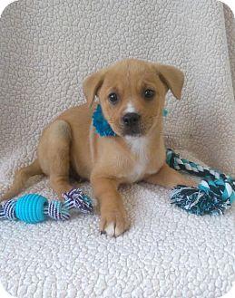 Golden Retriever/Labrador Retriever Mix Puppy for adoption in Newark, Delaware - Zorro