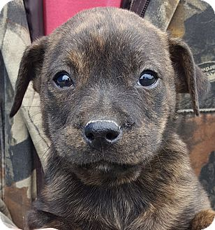 Rottweiler/Labrador Retriever Mix Puppy for adoption in Colonial Heights, Virginia - Sniffy Longdroppings