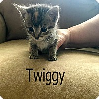 Adopt A Pet :: Twiggy - Wichita Falls, TX