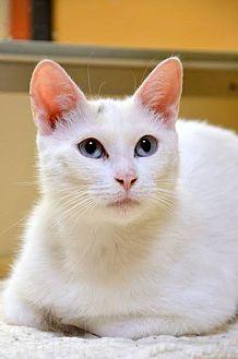 Domestic Shorthair Cat for adoption in Hamilton, Ontario - Maple