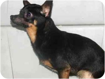 Chihuahua Dog for adoption in Baltimore, Maryland - Paco