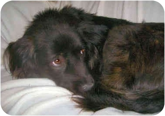 Boykin Spaniel/Schipperke Mix Dog for adoption in Latrobe, Pennsylvania - Missy
