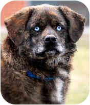 Collie/Australian Shepherd Mix Dog for adoption in Pawling, New York - LUCY