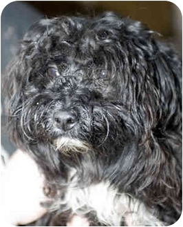 Poodle (Miniature)/Terrier (Unknown Type, Small) Mix Dog for adoption in Tangent, Oregon - Turner