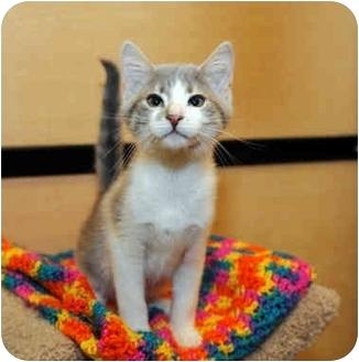 Domestic Shorthair Kitten for adoption in Farmingdale, New York - Samus