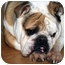 Photo 4 - English Bulldog Dog for adoption in Pearland, Texas - Teddy