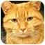 Photo 1 - Domestic Shorthair Cat for adoption in Walker, Michigan - Screech