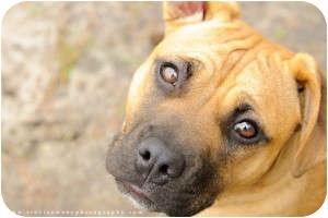 Boxer Mix Dog for adoption in Chesapeake, Virginia - Bindi