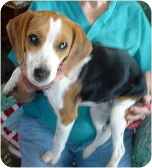 Beagle Puppy for adoption in Leoti, Kansas - Wednesday