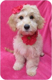 Wheaten Terrier/Poodle (Miniature) Mix Puppy for adoption in Irvine, California - Dior