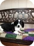 Beagle/Basset Hound Mix Puppy for adoption in East Hartford, Connecticut - Dominic in CT