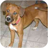 Whippet/Terrier (Unknown Type, Medium) Mix Puppy for adoption in New Philadelphia, Ohio - Ruby