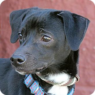 Terrier (Unknown Type, Medium)/Whippet Mix Dog for adoption in Springfield, Illinois - Midnight