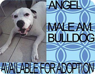 American Bulldog Dog for adoption in Hollywood, Florida - ANGEL