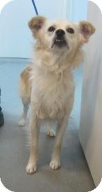 American Eskimo Dog/Pomeranian Mix Dog for adoption in Westminster, California - Templeton