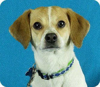Beagle Mix Dog for adoption in Minneapolis, Minnesota - Audrey