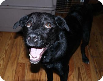 Labrador Retriever Mix Dog for adoption in Miami, Florida - Cassie