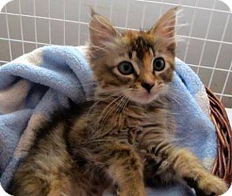 Maine Coon Kitten for adoption in Davis, California - Zillie