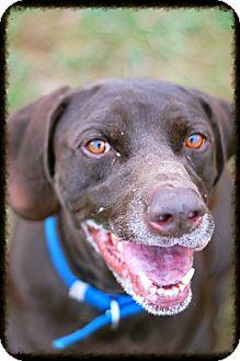 German Shorthaired Pointer Mix Dog for adoption in Elyria, Ohio - Obie