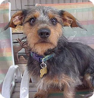 Dachshund/Yorkie, Yorkshire Terrier Mix Puppy for adoption in Los Angeles, California - Jackson - Low shedding dog!