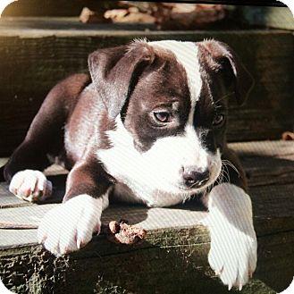Border Collie/Labrador Retriever Mix Puppy for adoption in MILWAUKEE, Wisconsin - TOM and PRISCILLA