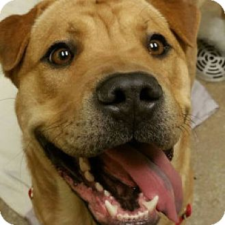 Shar Pei Mix Dog for adoption in Eatontown, New Jersey - Rosie