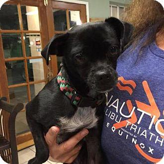 Pug Mix Dog for adoption in Portland, Oregon - Gabby