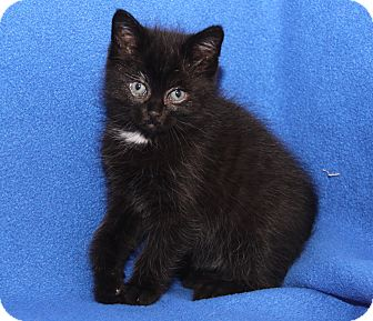 Domestic Shorthair Kitten for adoption in Marietta, Ohio - Janet