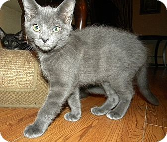 Domestic Shorthair Kitten for adoption in Tampa, Florida - Maud