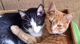 Domestic Shorthair Kitten for adoption in Proctorville, Ohio, Ohio - Pumpkin