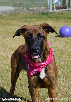 Dutch Shepherd/Great Dane Mix Dog for adoption in Patterson, California - Genevieve