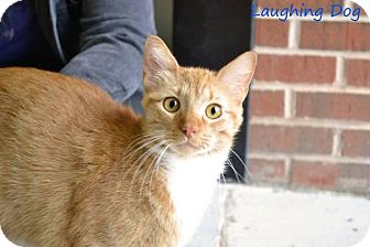 Domestic Shorthair Cat for adoption in Stillwater, Oklahoma - Albus