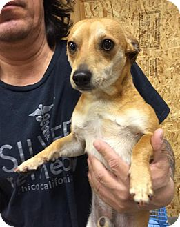 Chihuahua Mix Dog for adoption in Chico, California - Corky